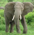 elephant man's Photo